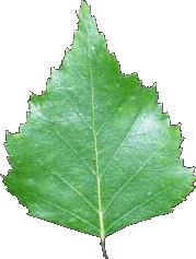 Photo d'une feuille de bouleau