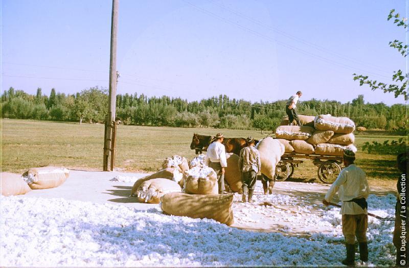 Photographie (résolution écran) : Fonds photographique Jacques Dupâquier — Voyage en URSS en 1956 — Ouzbekistan : «Mise en sac du coton au kolkhoze Staline près de Tachkent»