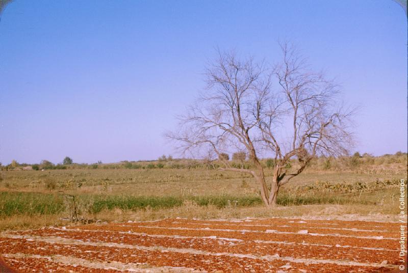 Photographie (résolution écran) : Fonds photographique Jacques Dupâquier — Voyage en URSS en 1956 — Ouzbekistan : «Séchage du raisin au kolkhoze Staline près de Tachkent»