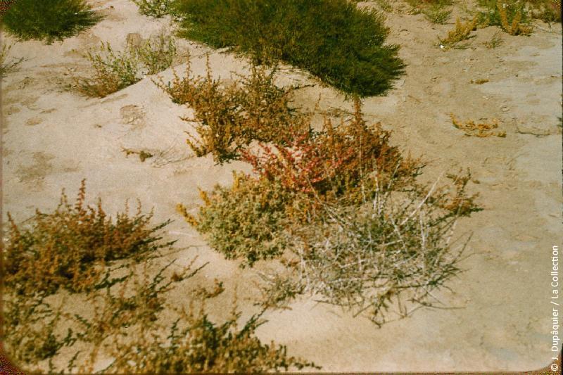 Photographie (résolution écran) : Fonds photographique Jacques Dupâquier — Voyage en URSS en 1956 — Ouzbekistan : «Plantes du désert»