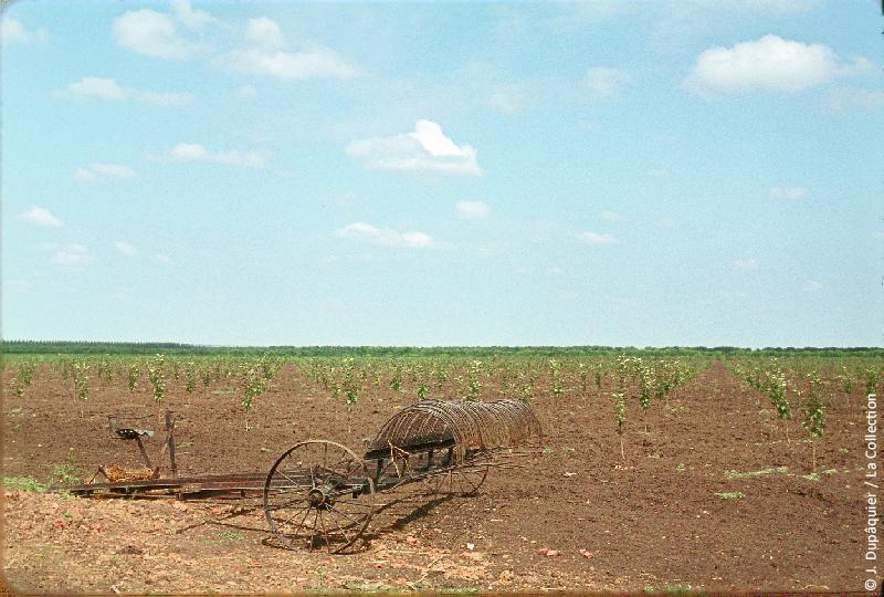Photographie (résolution écran) : Fonds photographique Jacques Dupâquier — Voyage en URSS en 1964 — De Moscou au Caucase : «Nouveaux vergers du sovkhoze Dvodianaïa Balka (Territoire de Krasnodar)»