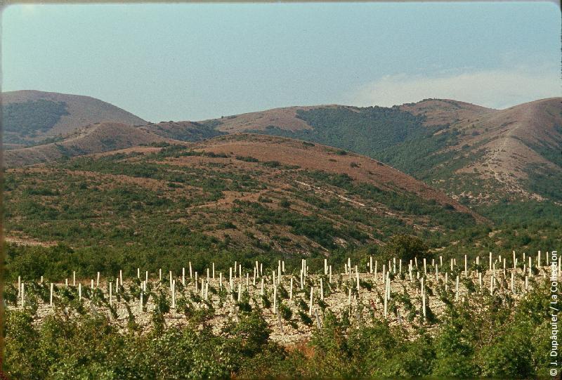 Photographie (résolution écran) : Fonds photographique Jacques Dupâquier — Voyage en URSS en 1964 — Caucase et Georgie : «Vignoble près de Kabardinka»