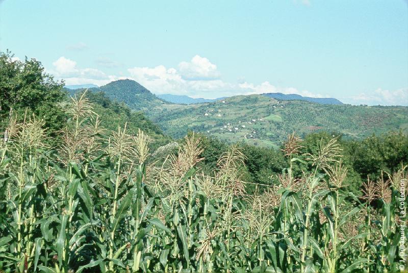 Photographie (résolution écran) : Fonds photographique Jacques Dupâquier — Voyage en URSS en 1964 — Caucase et Georgie : «Culture de maïs près de Sotchi»