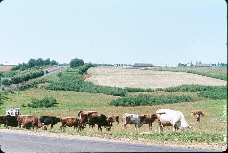 Photographie (résolution écran) : Fonds photographique Jacques Dupâquier — Voyage en URSS en 1964 — Sur la route de Moscou-Minsk Smolensk Borodino : «Sur la route de Smolensk-Elevage»